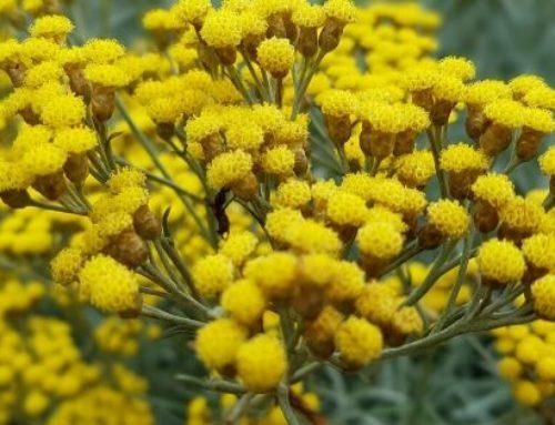 Focus sur Helichrysum Italicum